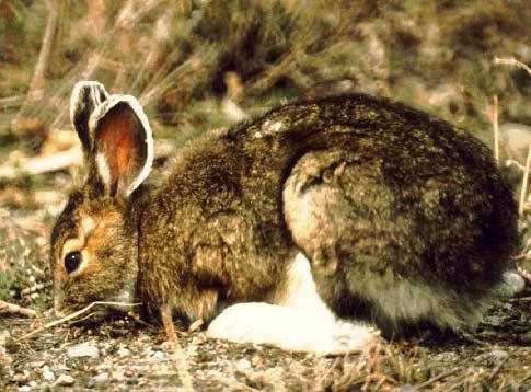 krebs-hare-summer-a1-2.jpg